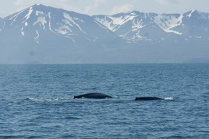 2-blue-whales